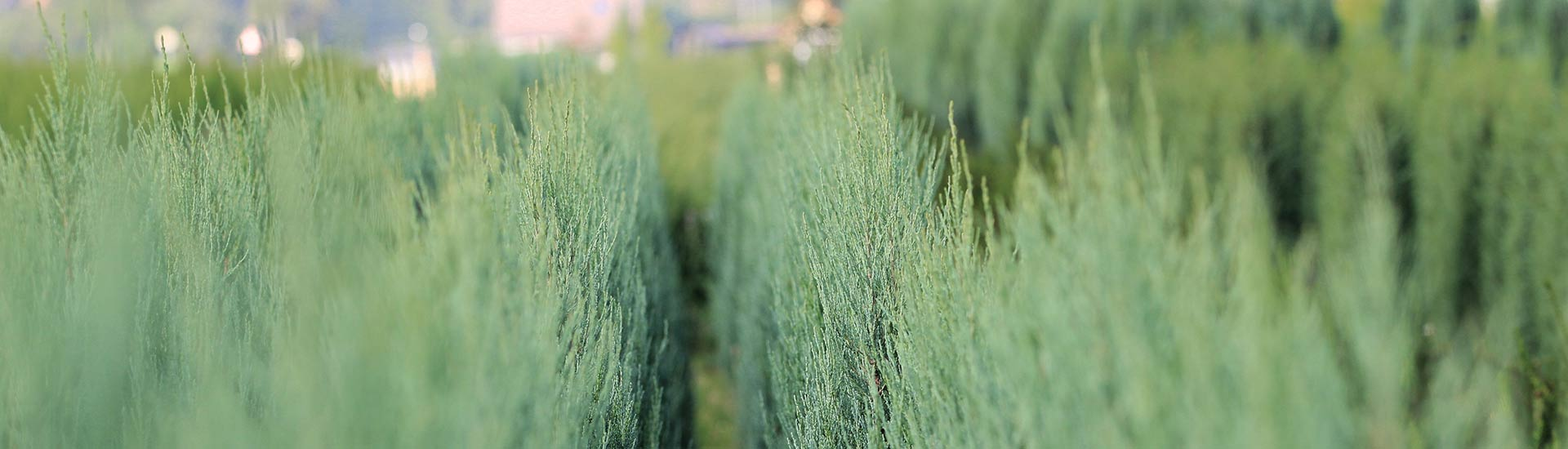 planzen-gockel-heckenpflanzen-sauerland-002