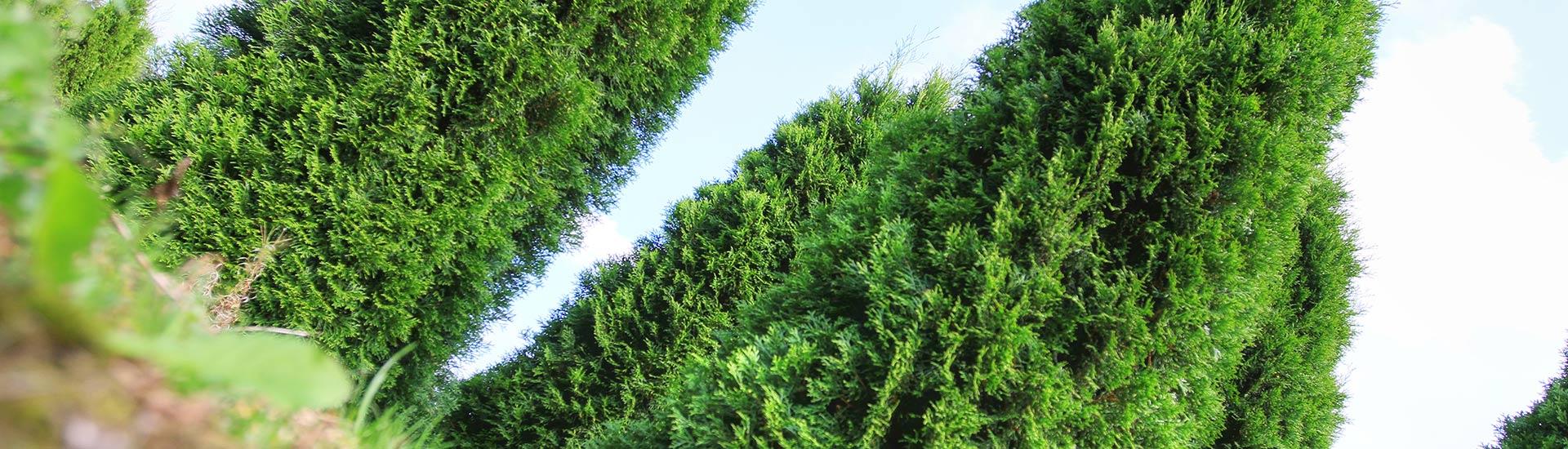 planzen-gockel-heckenpflanzen-sauerland-003