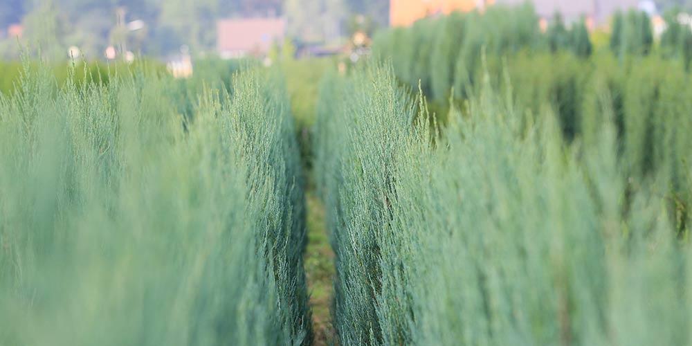 pflanzen-gockel-heckenpflanzen-sauerland-xs-002