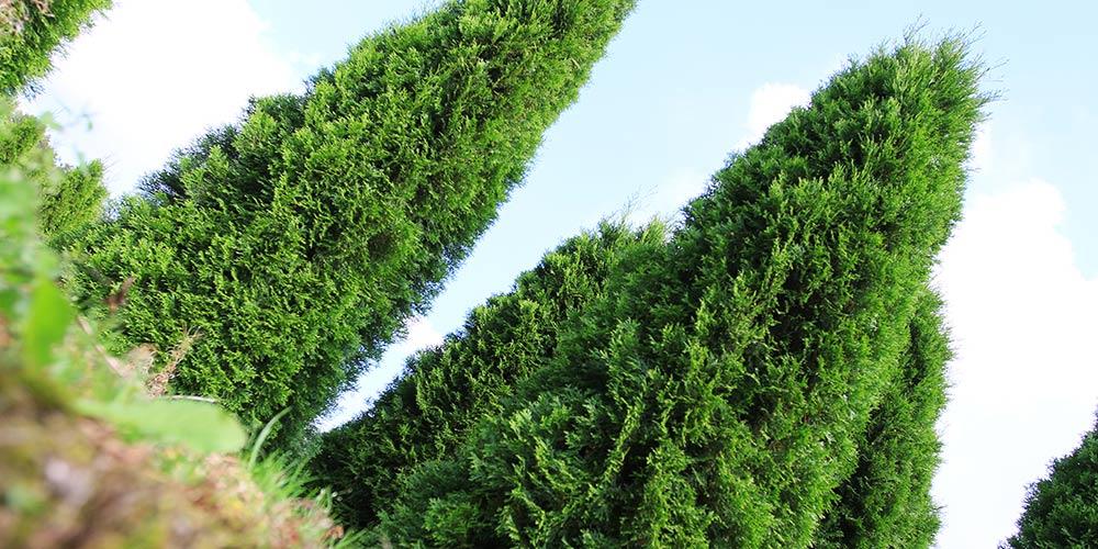 pflanzen-gockel-heckenpflanzen-sauerland-xs-003