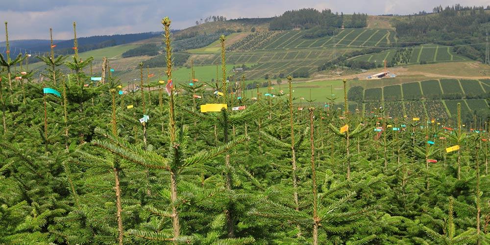 pflanzen-gockel-weihnachtsbaeume-sauerland-xs-001