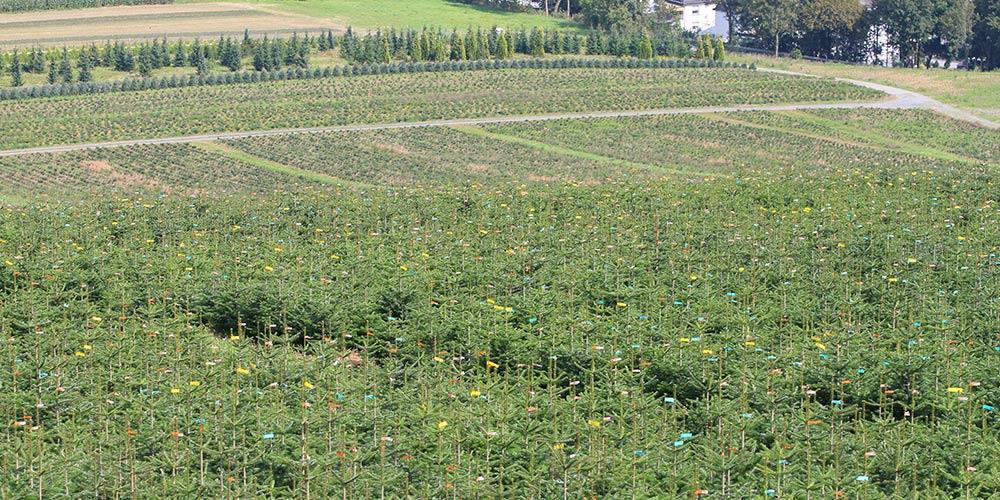 pflanzen-gockel-weihnachtsbaeume-sauerland-xs-002
