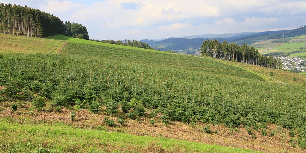 pflanzen-gockel-weihnachtsbaeume-sauerland-xs-003