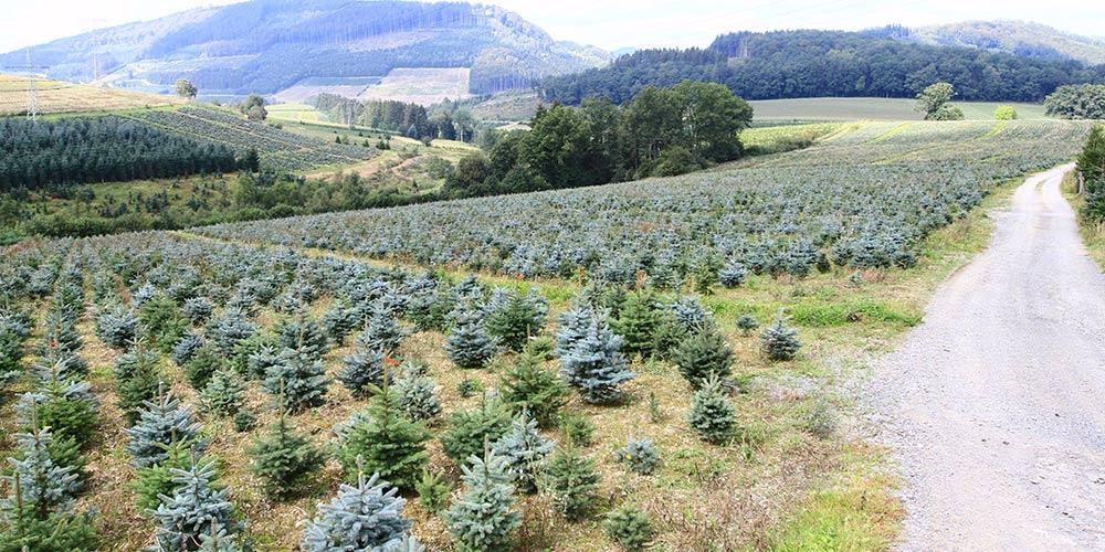 pflanzen-gockel-weihnachtsbaeume-sauerland-xs-004